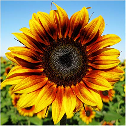 The Sunflower Blog